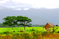 Horses feeding on a ranch in Kauai Hawaii