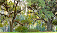 Trees with spanish moss hanging down off of branches