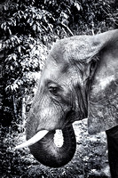 Black and White Image of an Elephant head