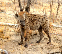 Hyena in the Kruger National Park